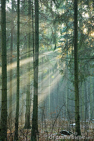 Free Light Entering Foggy Forest Royalty Free Stock Photos - 3803608