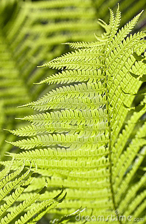 Light green fern leaves