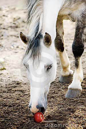 The light grey horse