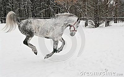 The light grey horse gallops