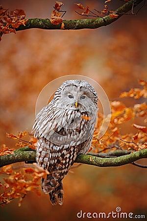 Free Light Grey Ural Owl, Strix Uralensis, Sitting On Tree Branch, At Orange Leaves Oak Forest Stock Photos - 67935523