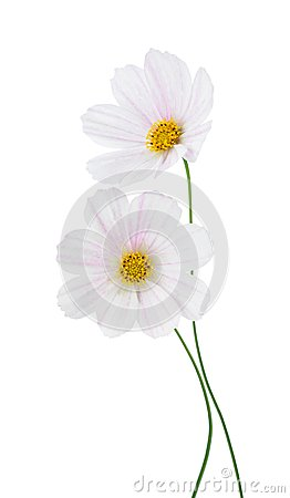 Light pink Cosmos