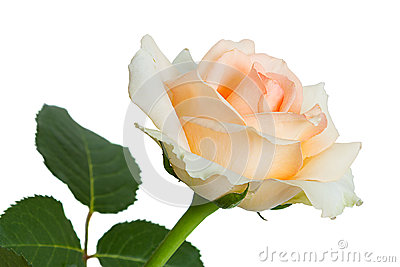Light pink roses on a white background