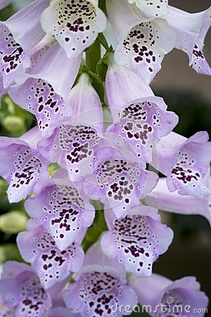 Light purple foxglove flowers