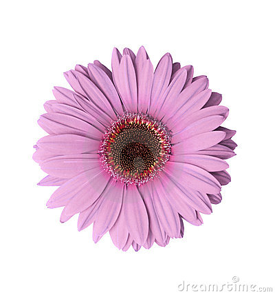 Light Purple Gerbera Flower