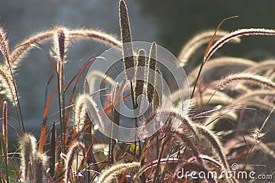 Lightness, wild grass red ears