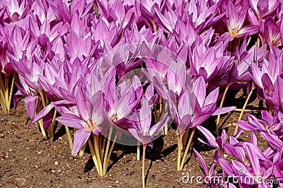 Lila flowers - colchicum