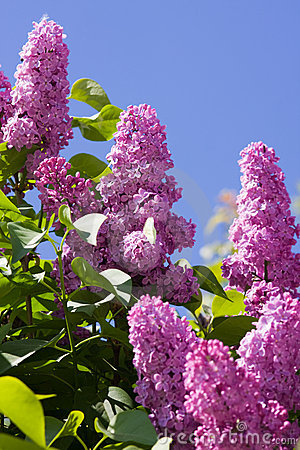 Free Lilac Stock Images - 12157074