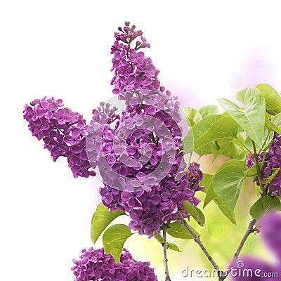 Lilac border