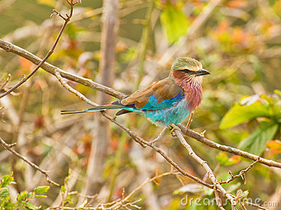 The Lilac-breasted Roller
