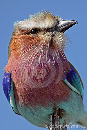 Lilac-breasted roller, Africa