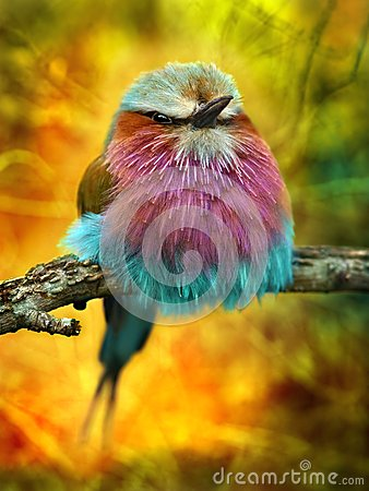 Free Lilac Breasted Roller Bird Stock Images - 34813504