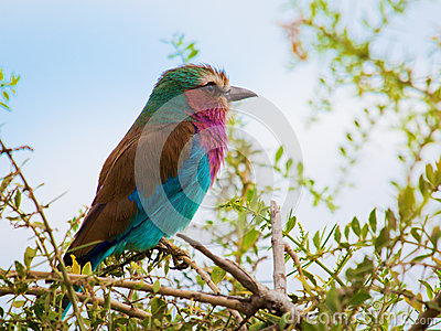 Lilac Breasted Roller bird in Kenya, Africa