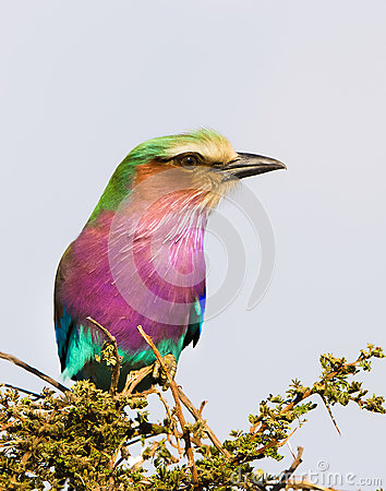 Free Lilac-breasted Roller, Serengeti National Park, Tanzania, Africa Stock Photography - 47351432