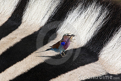Lilac Breasted Roller and Zebra