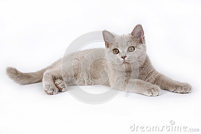 Lilac British kitten.