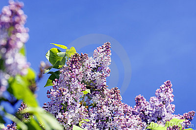 Lilac bush with sky