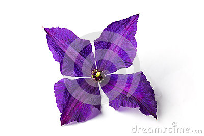 Lilac clematis on white background