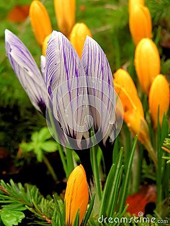 Lilac crocus shallow DOF