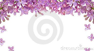 Lilac flower isolated frame