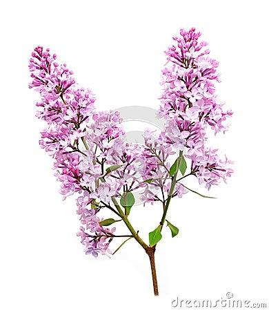 Lilac flowering barb