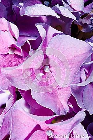 Lilac geranium