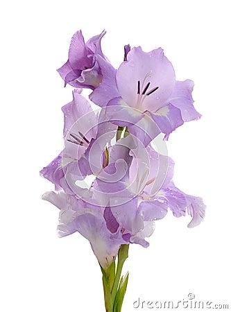 Free Lilac Gladiolus Royalty Free Stock Image - 37802616