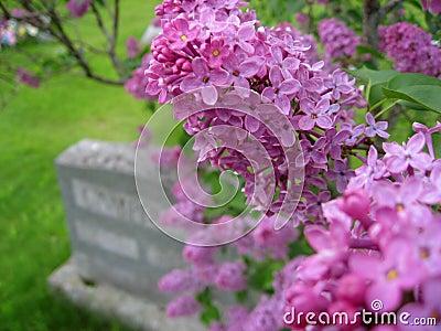 Lilac and Gravestone