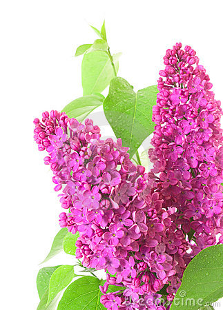 Lilac and leaves