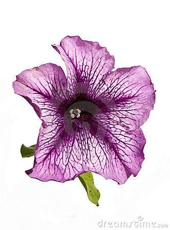 Lilac petunia flower isolated