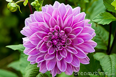 Lilac round flower of dahlia on green background