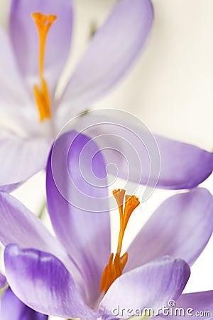 Lilac spring crocuses