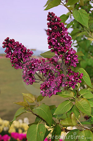 Lilac spring evening.