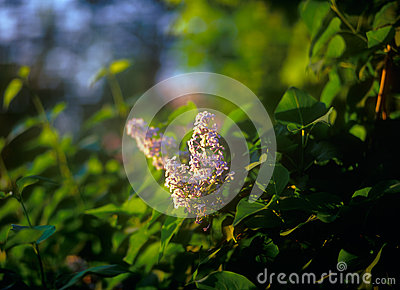 Lilac at sunset.