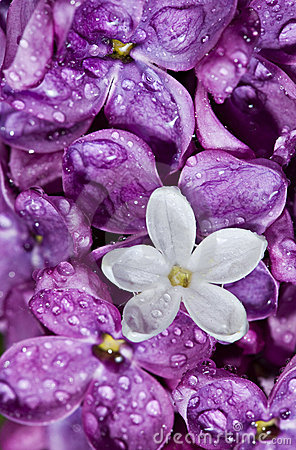 Free Lilac.   White Flower Among Violet Stock Images - 12287814