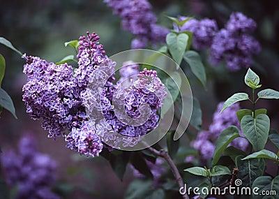 Lilacs, Brooklyn Botanic Garden