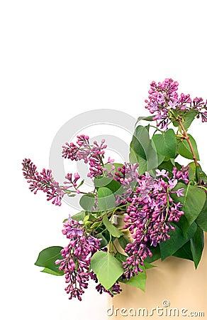 Free Lilacs On White Stock Image - 723601