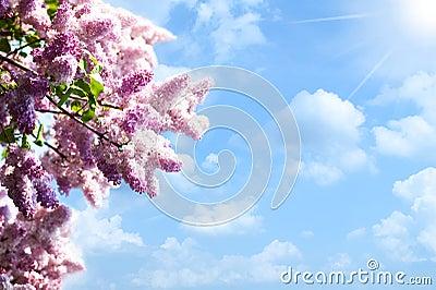 Lilacs tree