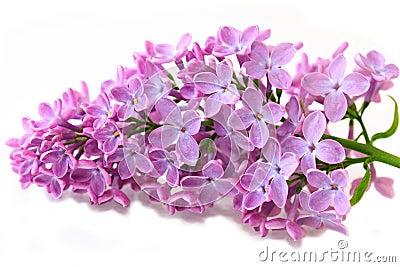 Lilas de source photo stock image 9741620 - Dessin de lilas ...