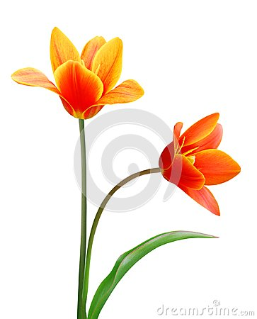 Free Liliaceae Tulip Flowers Stock Image - 26109341