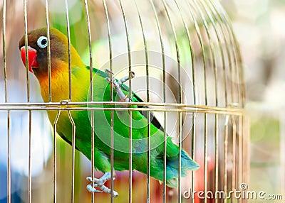 Lilian s Lovebird