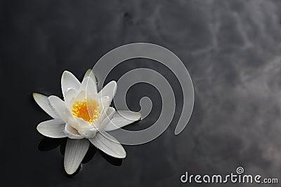 Lilie des weißen Wassers