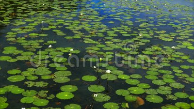 Lilies floating atop a Bacalar, Mexico lagoon stock video footage