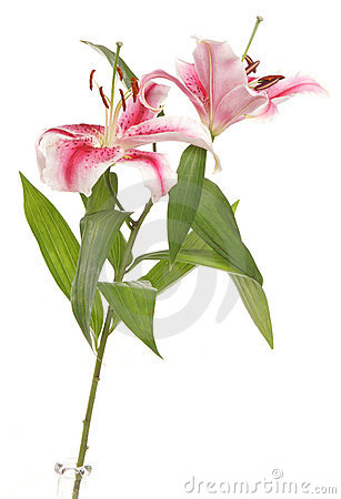 Lilies in a studio cutout