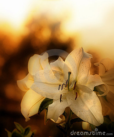 Free Lilium Royalty Free Stock Photography - 5127607