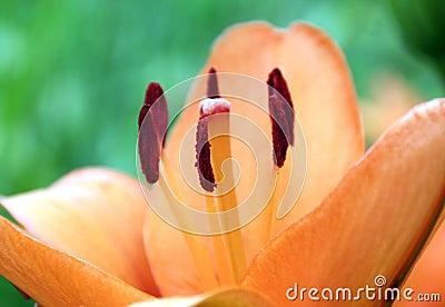 Lilium lily orange