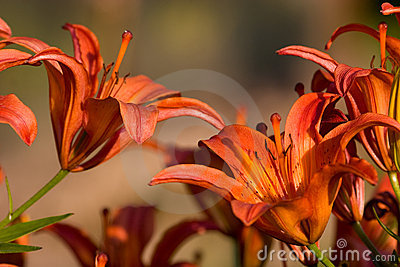 Lilium Orange Photos stock - Image: 11480103