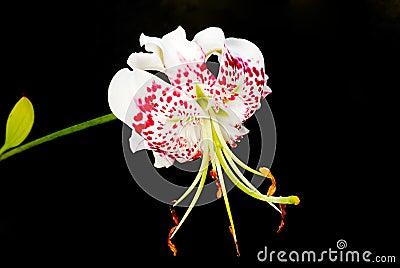 Lilium speciosum var. gloriosoides