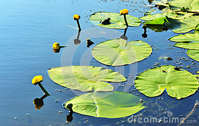 Lilly Flower and pads