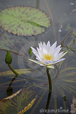 Lilly flower in a pond (Nymphaeaceae)